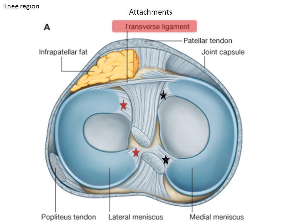 Attachments Knee region