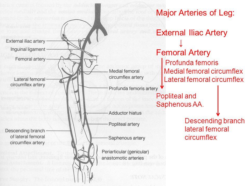 Major Arteries of Leg: External Iliac Artery ↓ Femoral Artery Profunda femoris Medial femoral circumflex Lateral femoral circumflex Popliteal and Saph