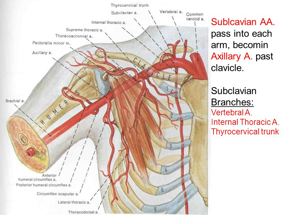 Sublcavian AA. pass into each arm, becomin Axillary A. past clavicle. Subclavian Branches: Vertebral A. Internal Thoracic A. Thyrocervical trunk