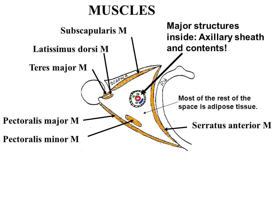MUSCLES Teres major M Latissimus dorsi M Subscapularis M Pectoralis major M Pectoralis minor M Serratus anterior M Major structures inside: Axillary s