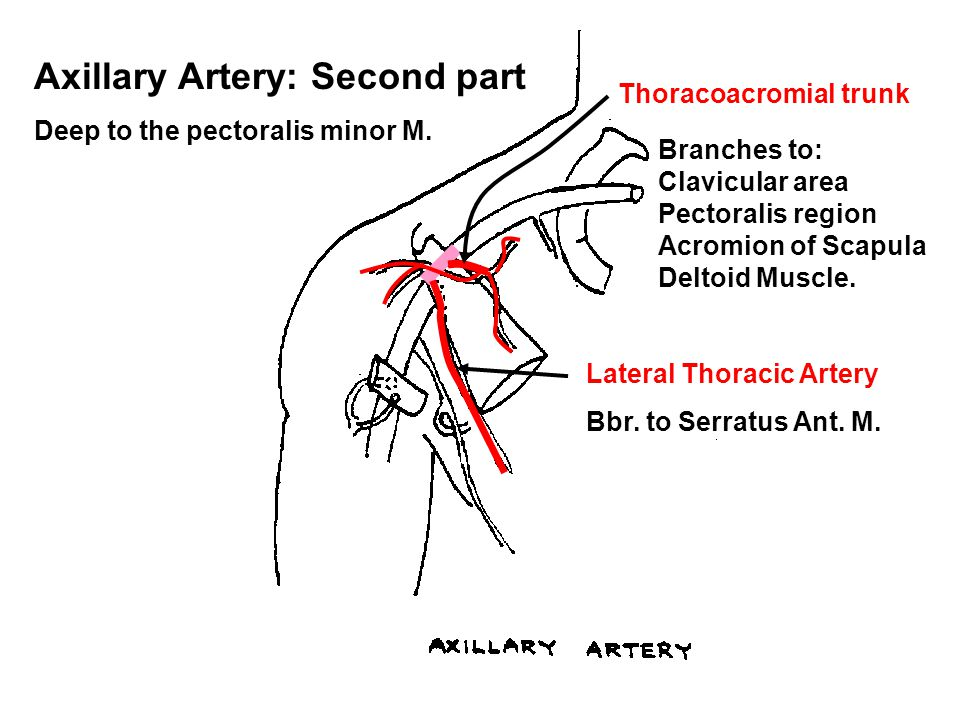 Axillary Artery: Second part Deep to the pectoralis minor M. Thoracoacromial trunk Branches to: Clavicular area Pectoralis region Acromion of Scapula