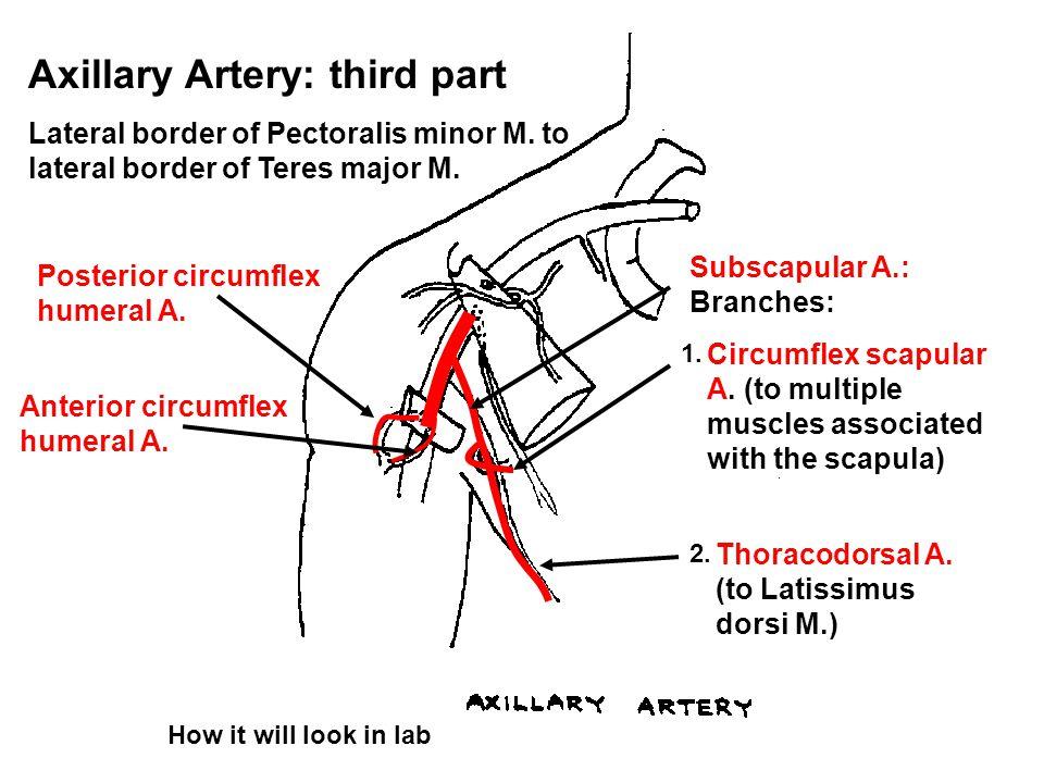 Axillary Artery: third part Lateral border of Pectoralis minor M. to lateral border of Teres major M. Subscapular A.: Branches: Circumflex scapular A.