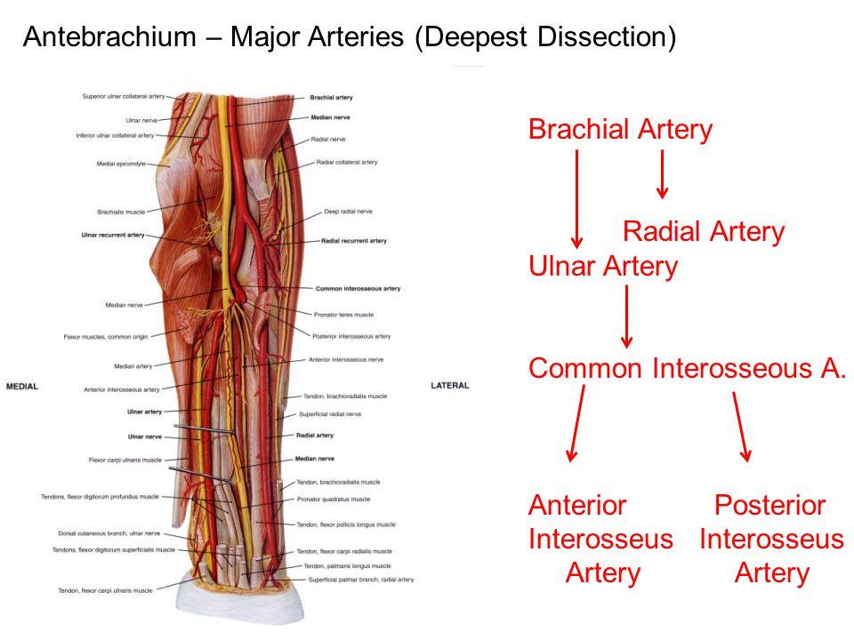 Antebrachium – Major Arteries (Deepest Dissection) Brachial Artery Radial Artery Ulnar Artery Common Interosseous A. Anterior Posterior Interosseus Ar