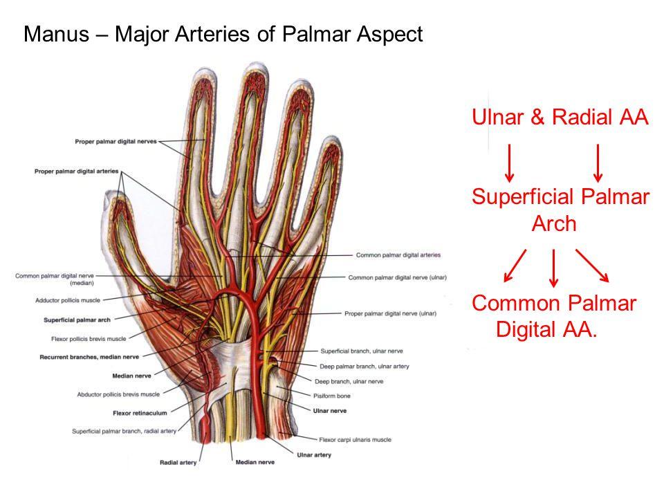 Manus – Major Arteries of Palmar Aspect Ulnar & Radial AA Superficial Palmar Arch Common Palmar Digital AA.