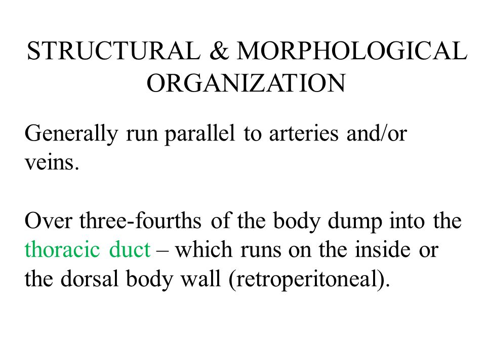 STRUCTURAL & MORPHOLOGICAL ORGANIZATION Generally run parallel to arteries and/or veins. Over three-fourths of the body dump into the thoracic duct –