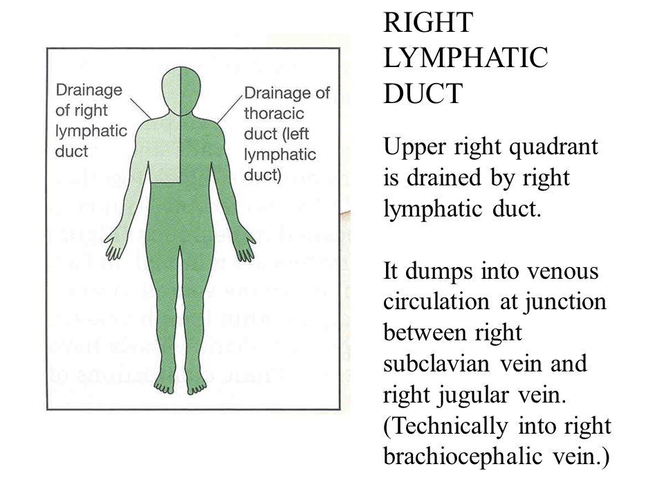 RIGHT LYMPHATIC DUCT Upper right quadrant is drained by right lymphatic duct. It dumps into venous circulation at junction between right subclavian ve