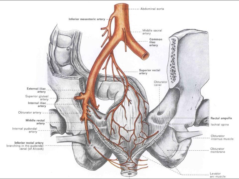 Antebrachium – Major Arteries Superficial Deeper Dissection