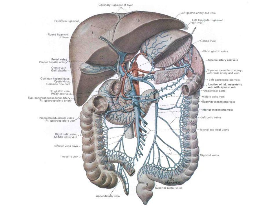 Antebrachium – Major Arteries (Deepest Dissection) Brachial Artery Radial Artery Ulnar Artery Common Interosseous A.