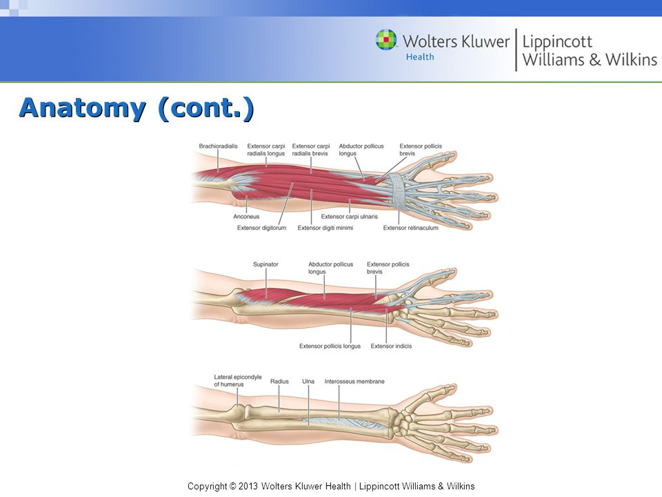Copyright © 2013 Wolters Kluwer Health | Lippincott Williams & Wilkins Anatomy (cont.)