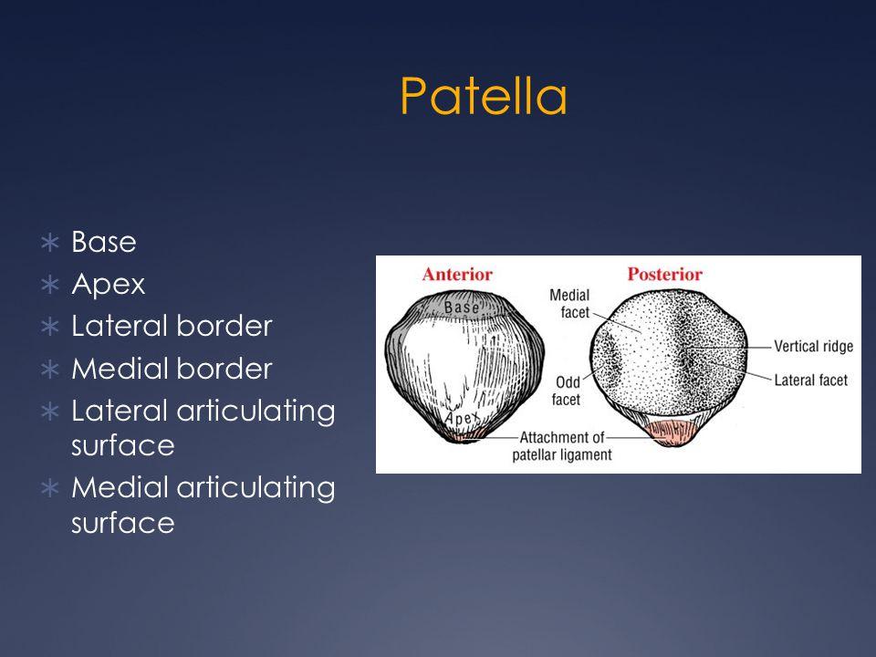 Patella  Base  Apex  Lateral border  Medial border  Lateral articulating surface  Medial articulating surface