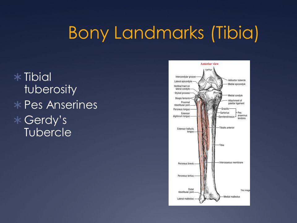 Bony Landmarks (Tibia)  Tibial tuberosity  Pes Anserines  Gerdy's Tubercle