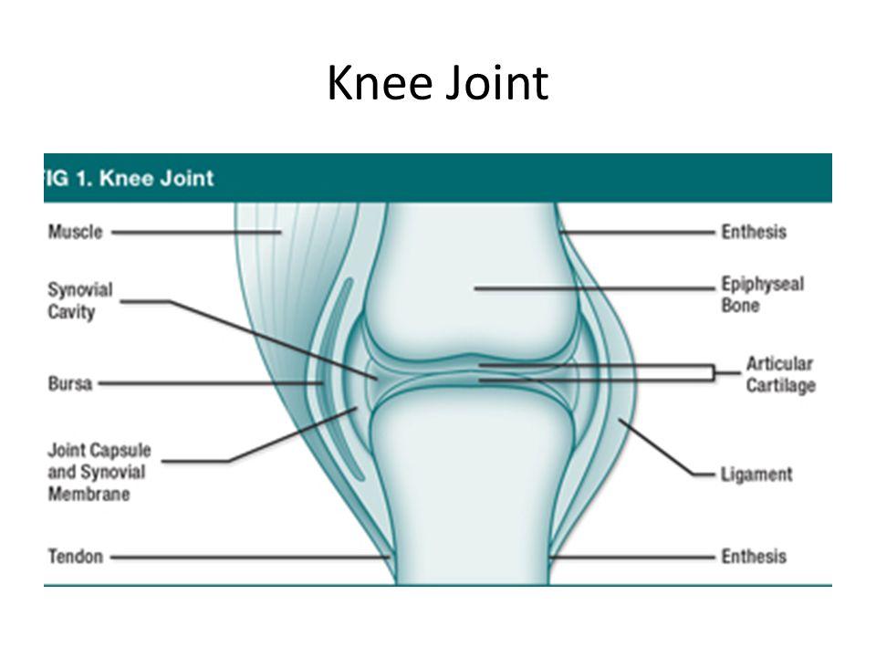 Knee Bones Distal end of the Fumer Proximal end of the Tibia Head of the Fibula Patella
