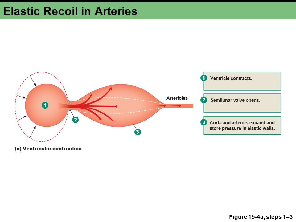 Elastic Recoil in Arteries Figure 15-4a, steps 1–3 1 2 3 1 Ventricle contracts.