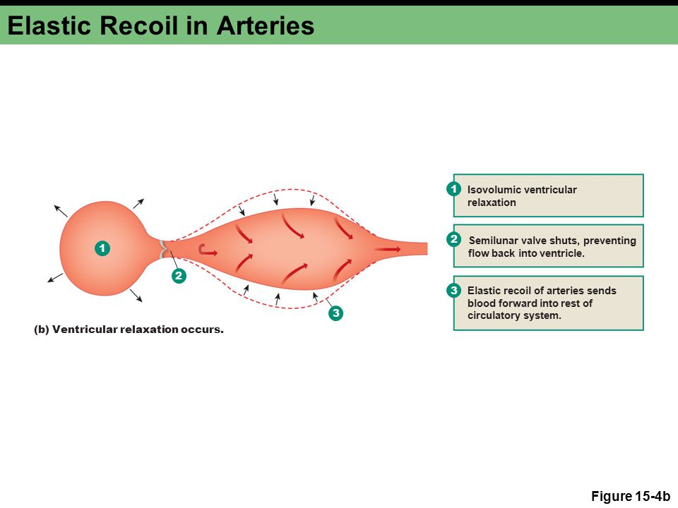 Elastic Recoil in Arteries Figure 15-4b 1 2 3 1 Isovolumic ventricular relaxation Elastic recoil of arteries sends blood forward into rest of circulatory system.