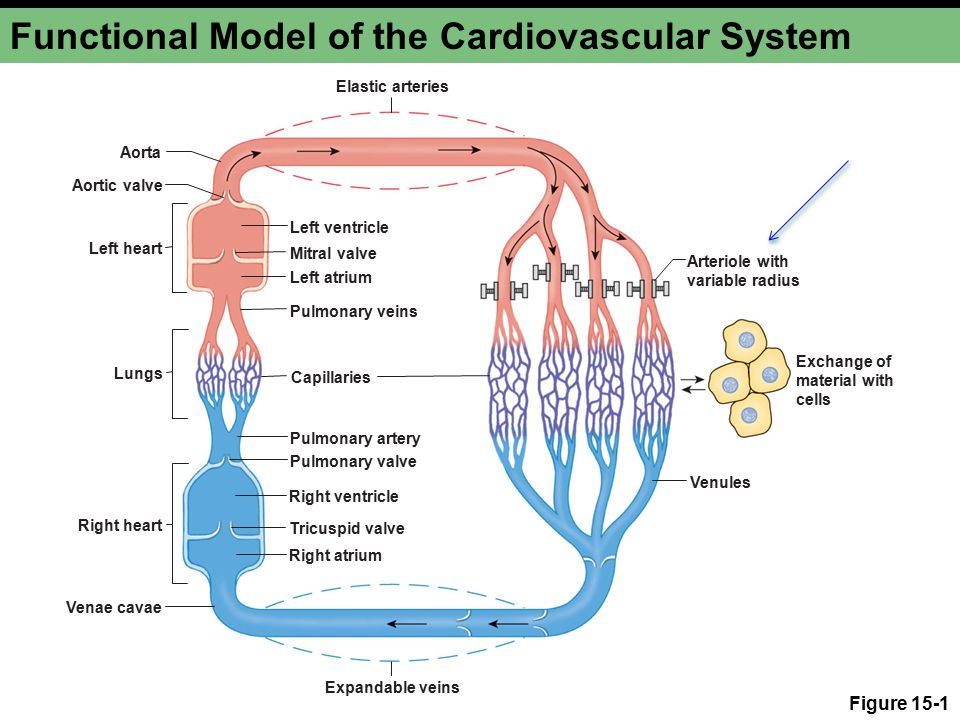 Figure 15-1 Functional Model of the Cardiovascular System Elastic arteries Aorta Aortic valve Left heart Right heart Lungs Left ventricle Right ventricle Left atrium Right atrium Pulmonary veins Pulmonary artery Pulmonary valve Tricuspid valve Capillaries Mitral valve Venae cavae Venules Arteriole with variable radius Exchange of material with cells Expandable veins