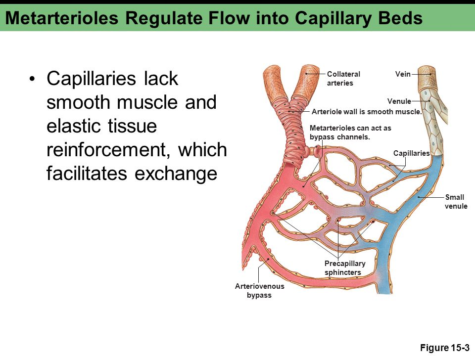 Metarterioles Regulate Flow into Capillary Beds Capillaries lack smooth muscle and elastic tissue reinforcement, which facilitates exchange Figure 15-3 Collateral arteries Arteriole wall is smooth muscle.