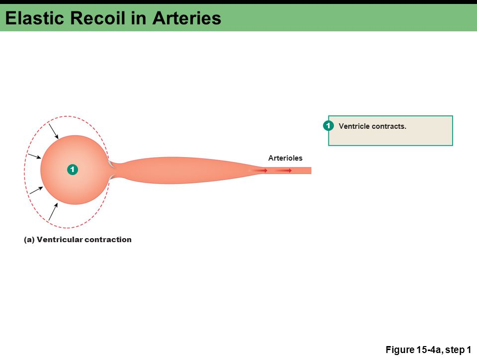 Elastic Recoil in Arteries Figure 15-4a, steps 1–2 1 2 1 Ventricle contracts.