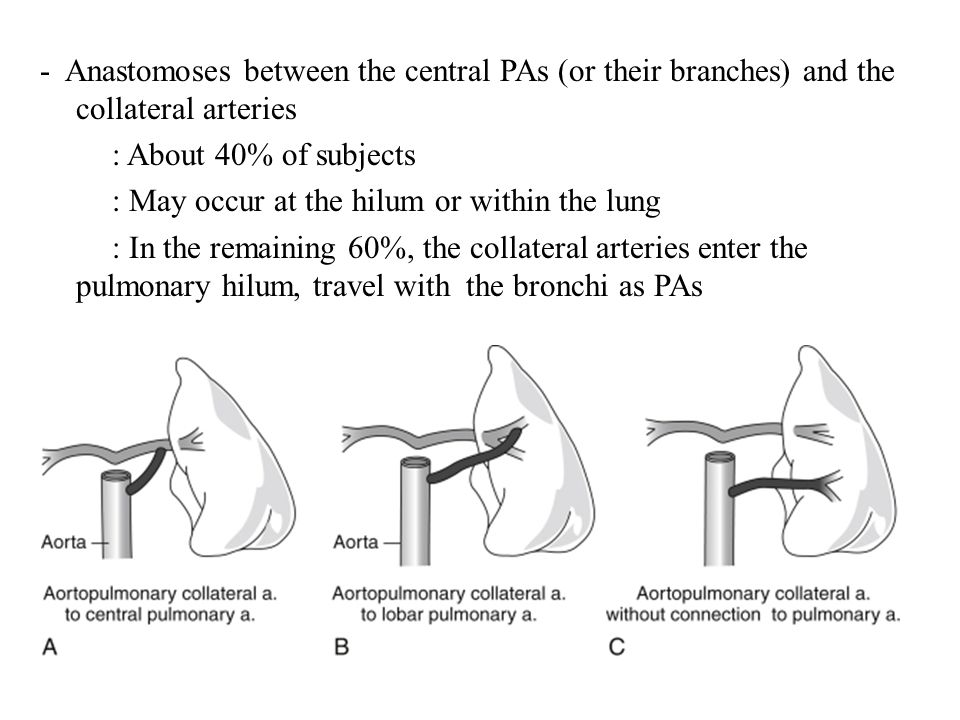 - Anastomoses between the central PAs (or their branches) and the collateral arteries : About 40% of subjects : May occur at the hilum or within the lung : In the remaining 60%, the collateral arteries enter the pulmonary hilum, travel with the bronchi as PAs