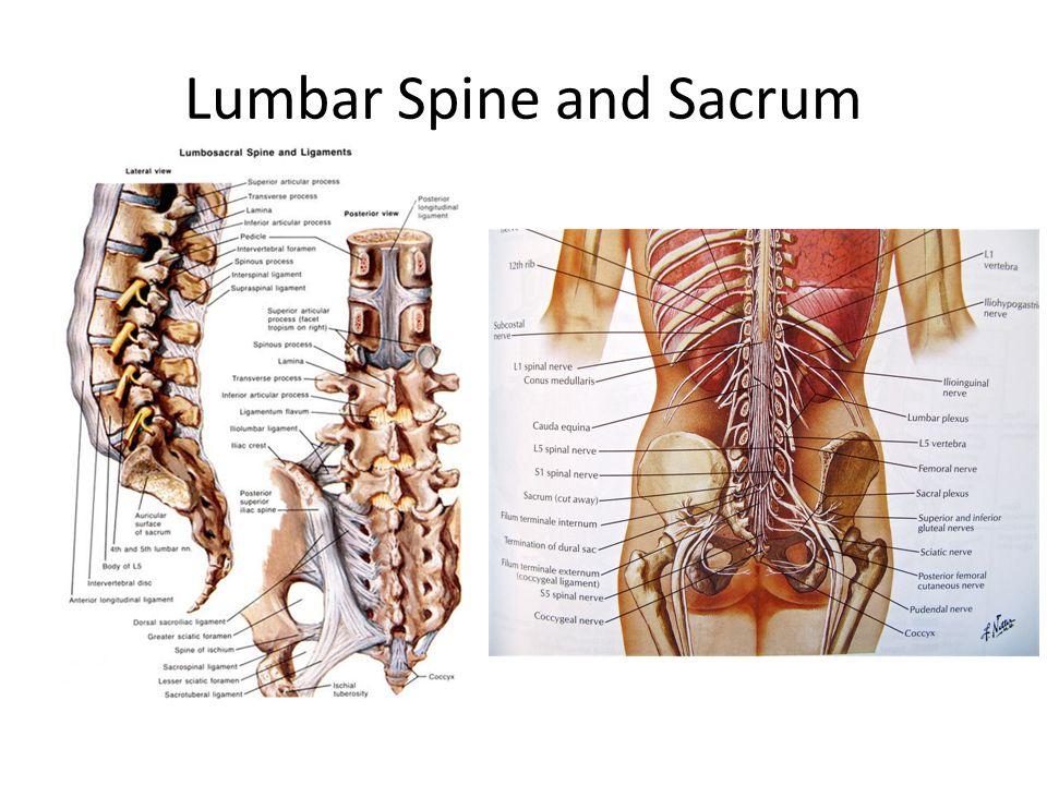 Lumbar Spine and Sacrum