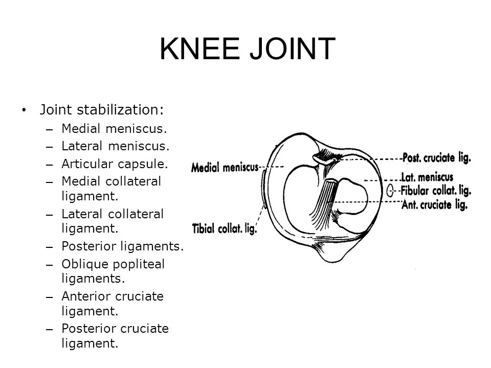 Joint stabilization: – Medial meniscus.– Lateral meniscus.