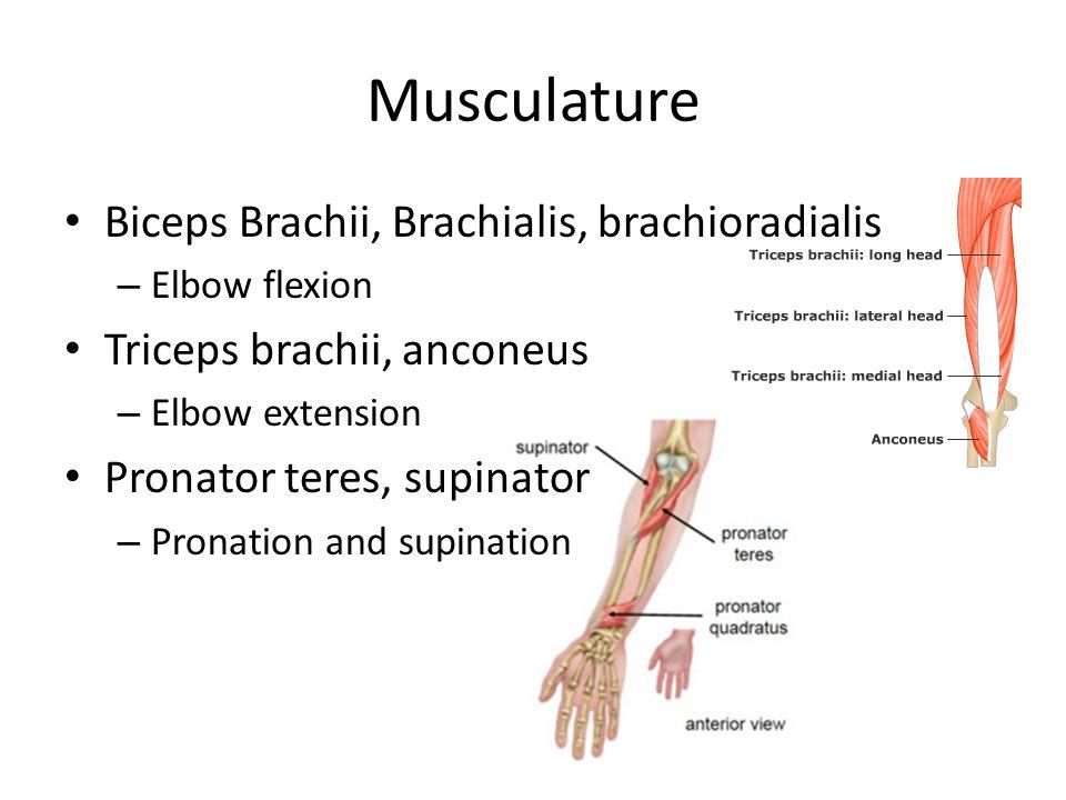 Musculature Biceps Brachii, Brachialis, brachioradialis – Elbow flexion Triceps brachii, anconeus – Elbow extension Pronator teres, supinator – Pronat