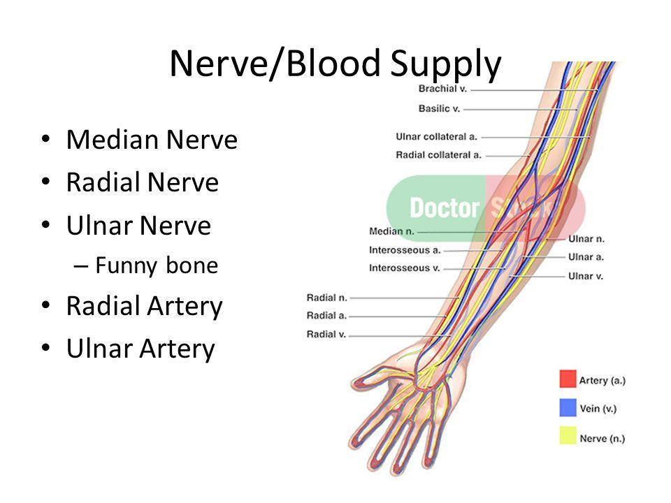 Nerve/Blood Supply Median Nerve Radial Nerve Ulnar Nerve – Funny bone Radial Artery Ulnar Artery