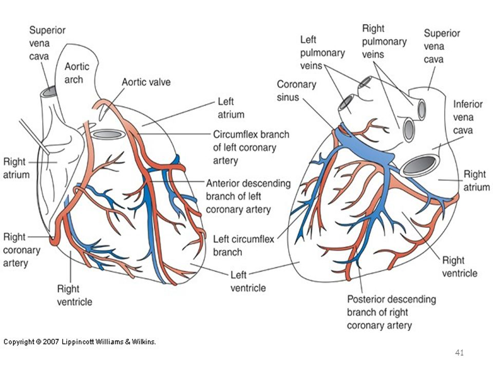 Coronary Arteries Right coronary artery – Nourishes right side, SA node, AV node – may lead to heart block Left coronary artery – A block in the left coronary artery leads to death because it sends blood to the left side of the heart and then to the body – Left anterior descending – Left circumflex 40