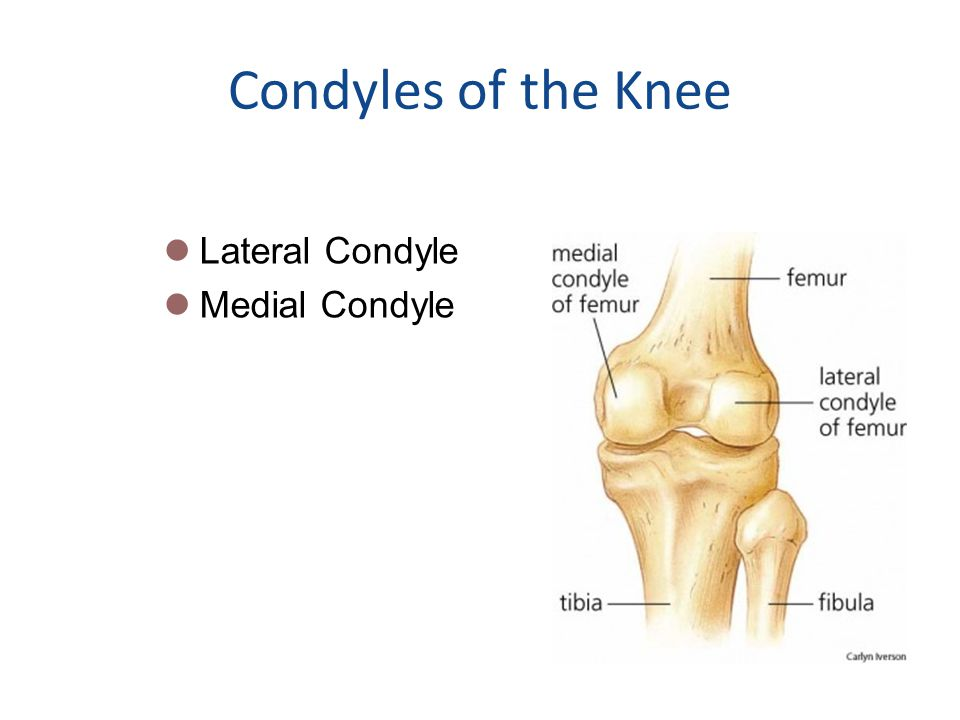 Condyles of the Knee Lateral Condyle Medial Condyle