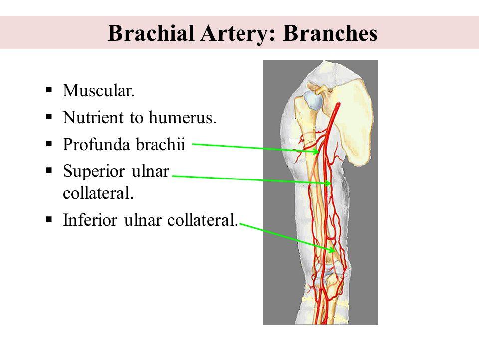  Muscular. Nutrient to humerus.  Profunda brachii  Superior ulnar collateral.