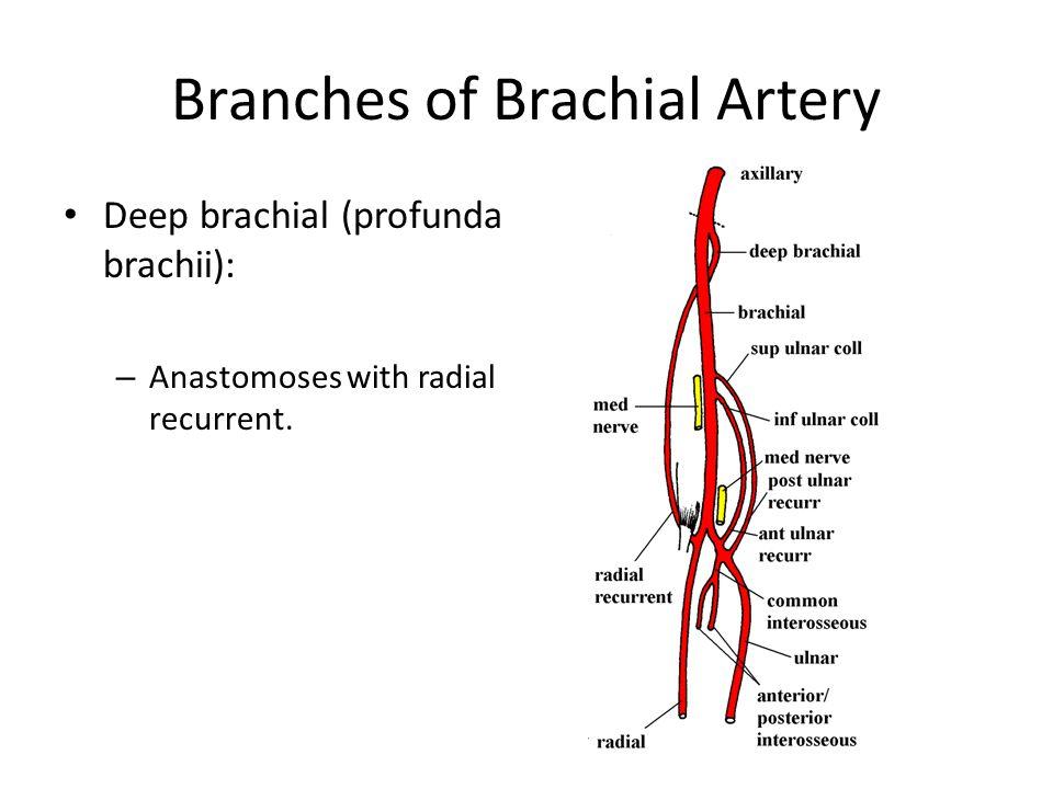 Branches of Brachial Artery Deep brachial (profunda brachii): – Anastomoses with radial recurrent.