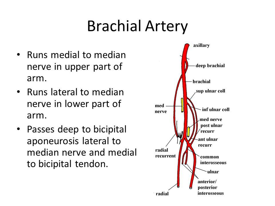 Brachial Artery Runs medial to median nerve in upper part of arm.