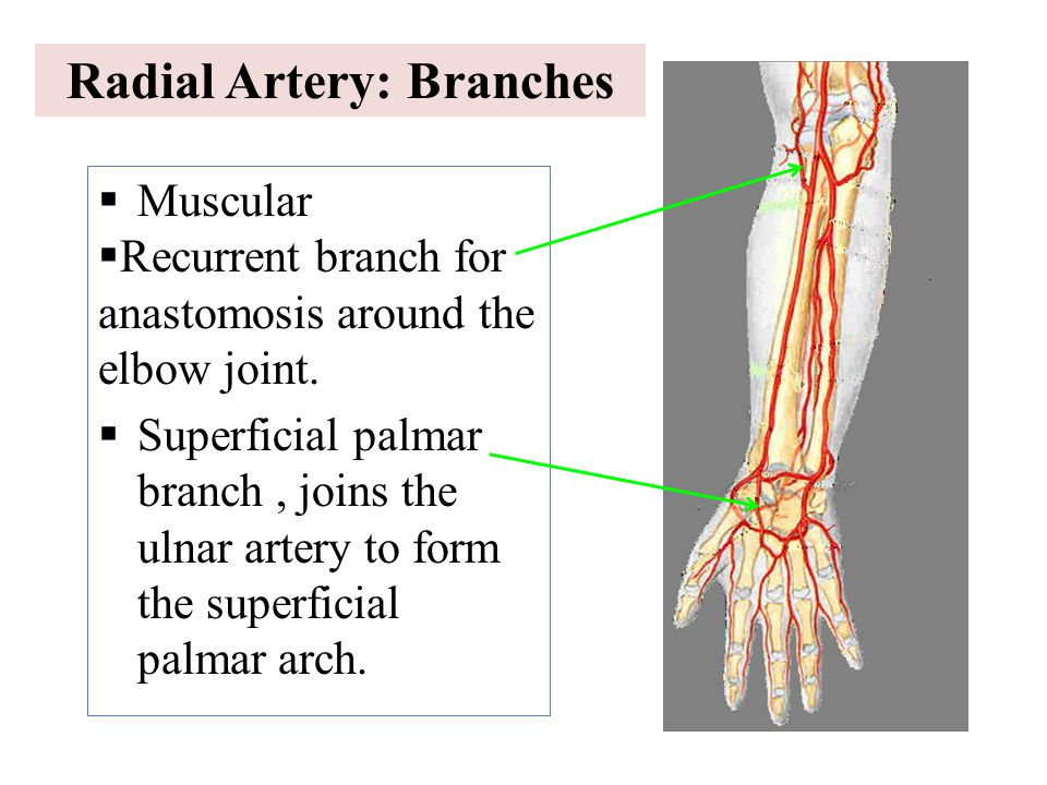 Radial Artery: Branches  Muscular  Recurrent branch for anastomosis around the elbow joint.  Superficial palmar branch, joins the ulnar artery to f