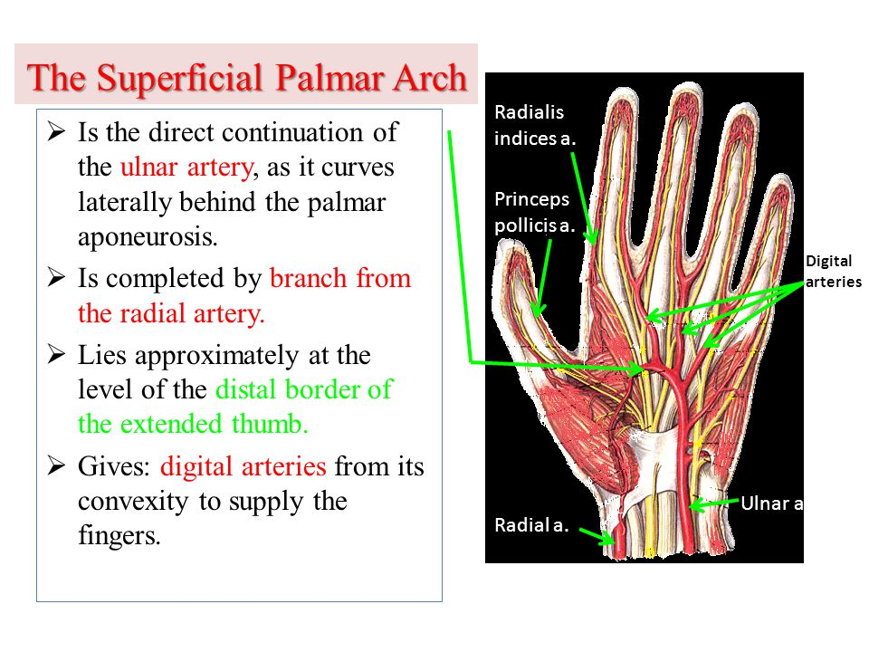 The Superficial Palmar Arch  Is the direct continuation of the ulnar artery, as it curves laterally behind the palmar aponeurosis.  Is completed by
