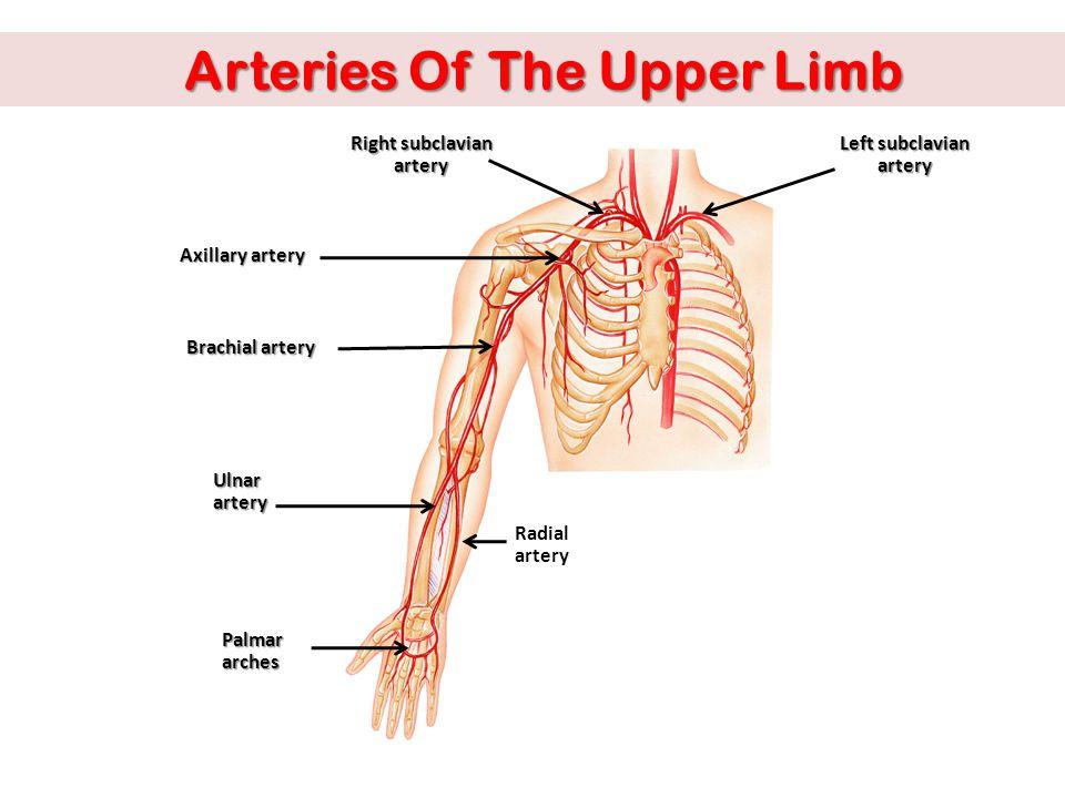 Arteries Of The Upper Limb Axillary artery Right subclavian artery Left subclavian artery Brachial artery Radial artery Ulnarartery Palmar arches