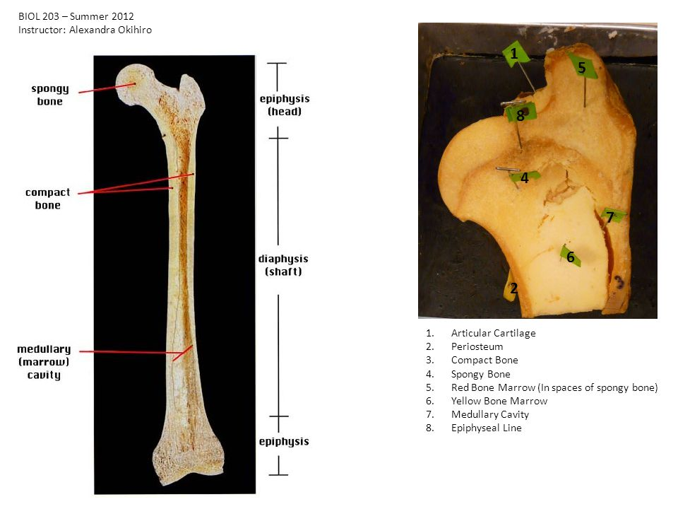 1 2 4 5 6 7 8 1.Articular Cartilage 2.Periosteum 3.Compact Bone 4.Spongy Bone 5.Red Bone Marrow (In spaces of spongy bone) 6.Yellow Bone Marrow 7.Medullary Cavity 8.Epiphyseal Line BIOL 203 – Summer 2012 Instructor: Alexandra Okihiro