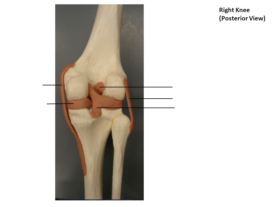 Right Knee (Posterior View)