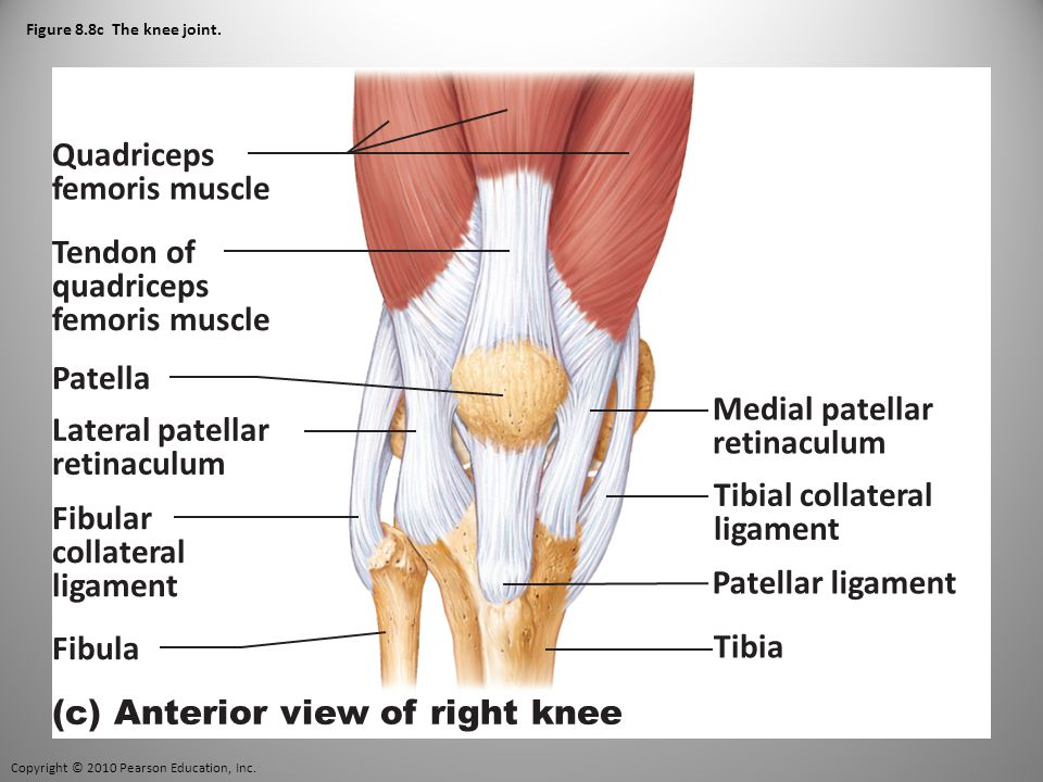 Copyright © 2010 Pearson Education, Inc. Figure 8.8c The knee joint.