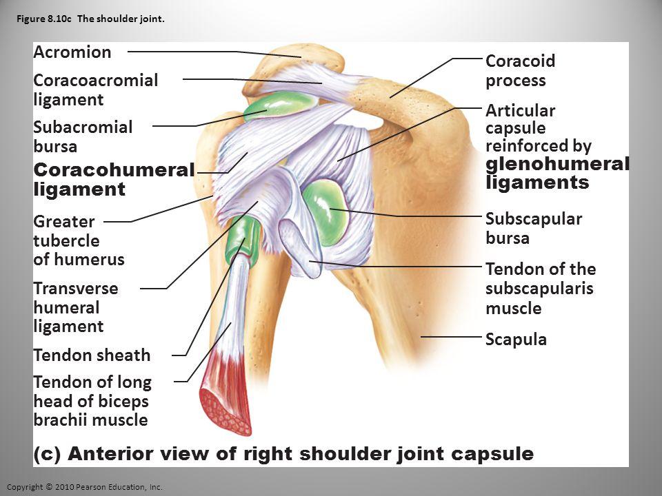 Copyright © 2010 Pearson Education, Inc. Figure 8.10c The shoulder joint.