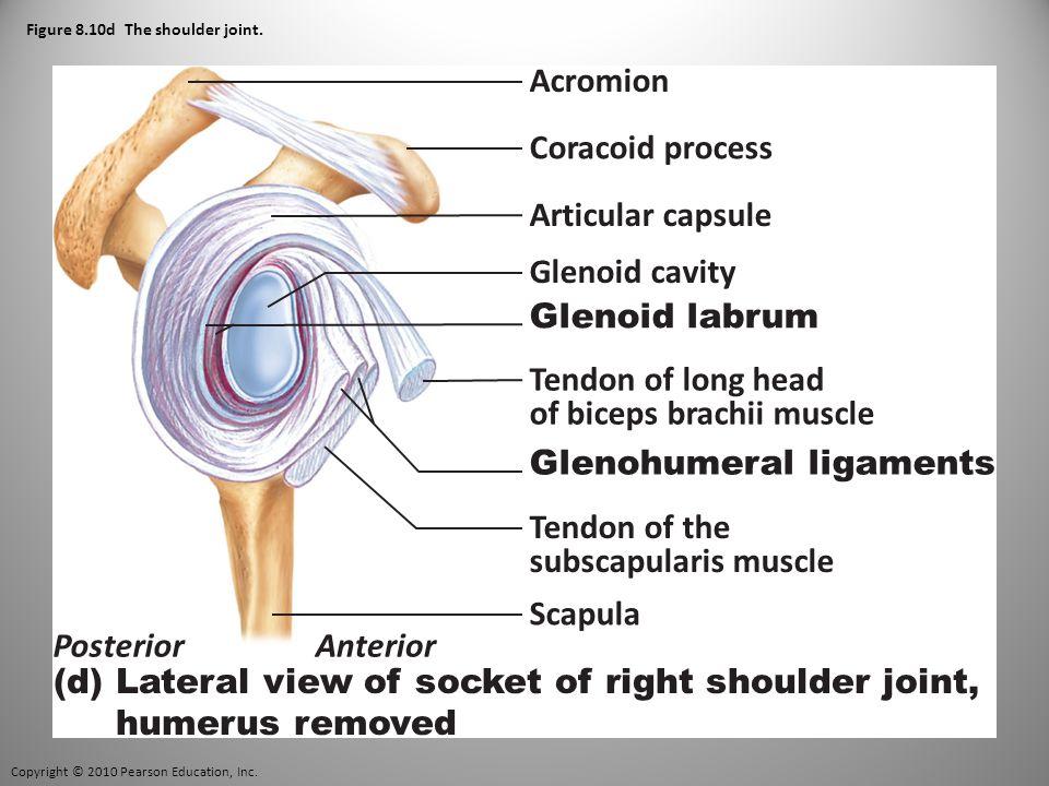 Copyright © 2010 Pearson Education, Inc. Figure 8.10d The shoulder joint.