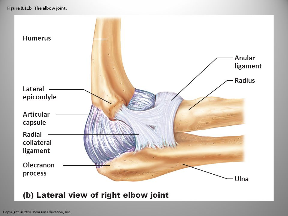 Copyright © 2010 Pearson Education, Inc. Figure 8.11b The elbow joint.