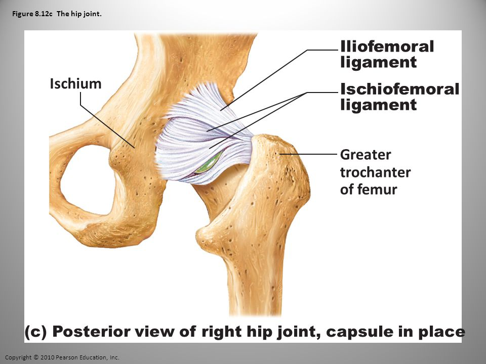 Copyright © 2010 Pearson Education, Inc. Figure 8.12c The hip joint.