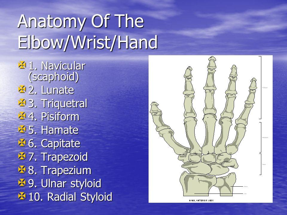 Anatomy Of The Elbow/Wrist/Hand X 1.Navicular (scaphoid) X 2.