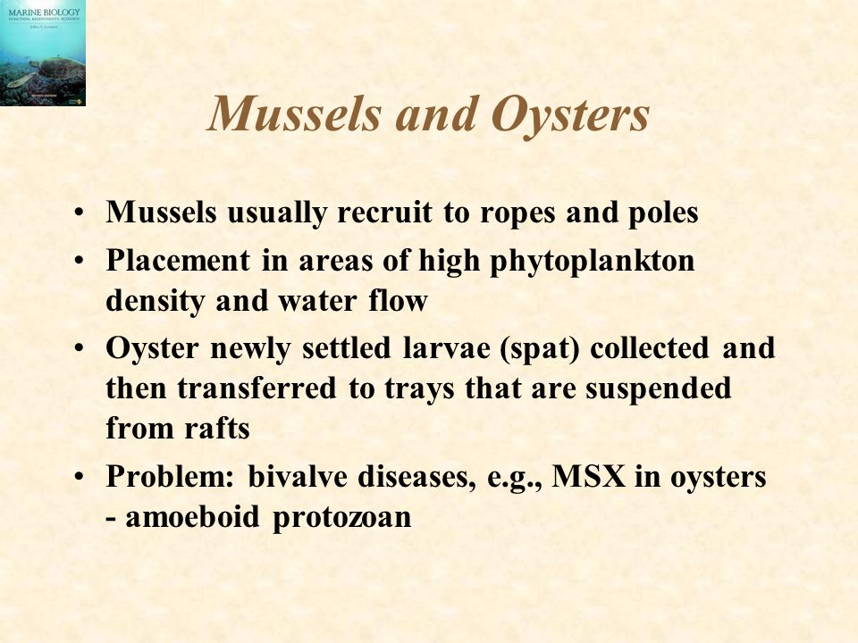 Mussels and Oysters Mussels usually recruit to ropes and poles Placement in areas of high phytoplankton density and water flow Oyster newly settled larvae (spat) collected and then transferred to trays that are suspended from rafts Problem: bivalve diseases, e.g., MSX in oysters - amoeboid protozoan