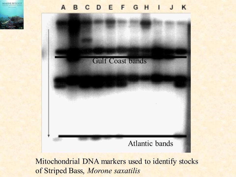 Gulf Coast bands Atlantic bands Mitochondrial DNA markers used to identify stocks of Striped Bass, Morone saxatilis