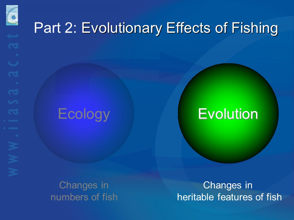 Evolutionary Effects of Fishing Part 2: Evolutionary Effects of Fishing EcologyEvolution Changes in numbers of fish Changes in heritable features of f