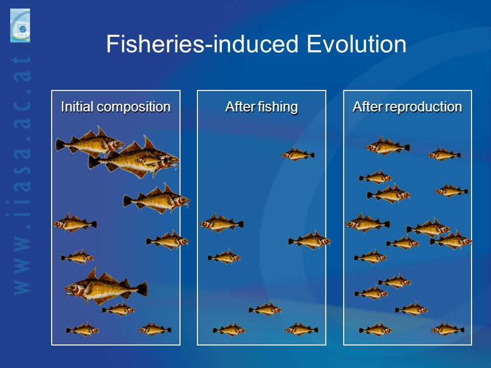 Fisheries-induced Evolution Initial composition After fishing After reproduction