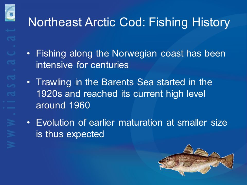 Northeast Arctic Cod: Fishing History Fishing along the Norwegian coast has been intensive for centuries Trawling in the Barents Sea started in the 19