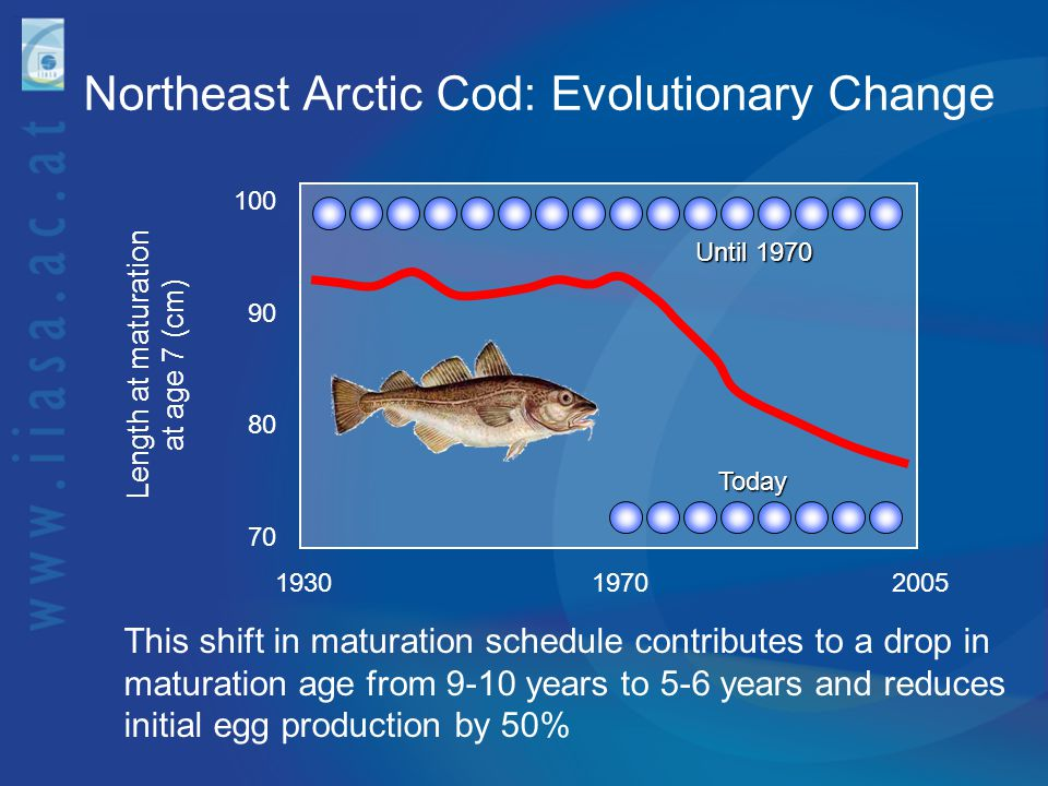 Northeast Arctic Cod: Evolutionary Change Length at maturation at age 7 (cm) 193019702005 70 100 90 80 This shift in maturation schedule contributes t