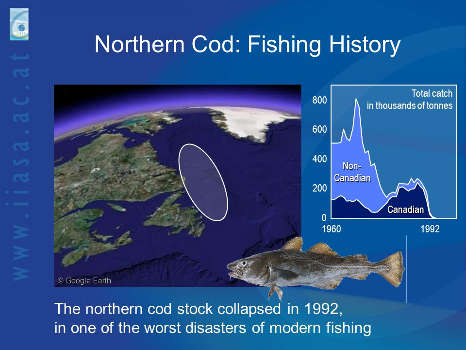 Total catch in thousands of tonnes 800 0 200 400 600 19601992 © Google Earth Northern Cod: Fishing History The northern cod stock collapsed in 1992, i