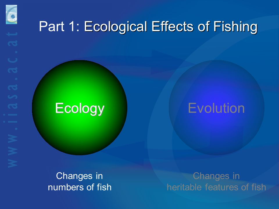 Ecological Effects of Fishing Part 1: Ecological Effects of Fishing EvolutionEcology Changes in numbers of fish Changes in heritable features of fish